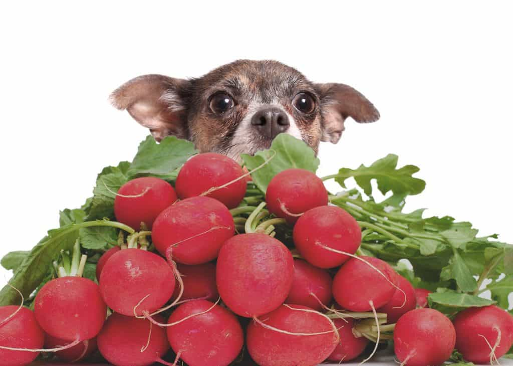 Can Dogs Eat Radishes