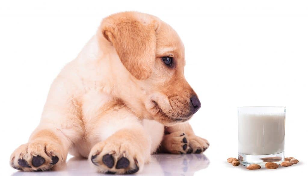 Can Dogs Have Almond Milk? Pros & Cons Of Almond Milk Disclosed 1