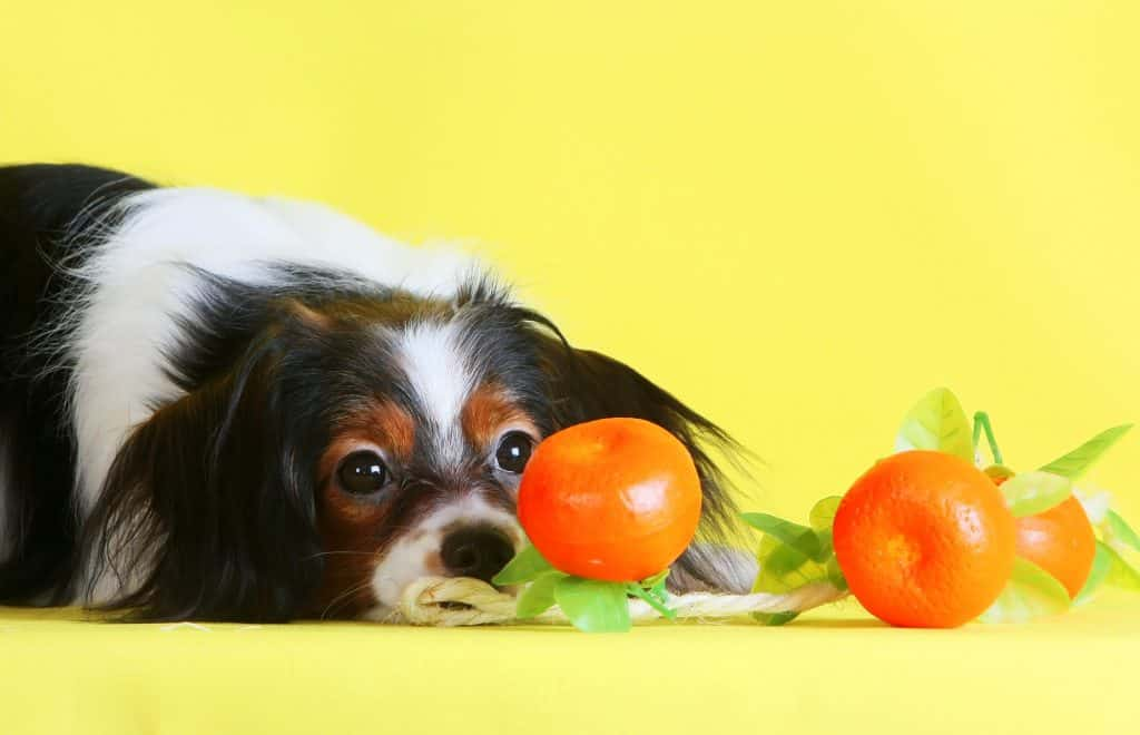 Can Dogs Eat Tangerines? Are Tangerines Safe for Dogs? 3