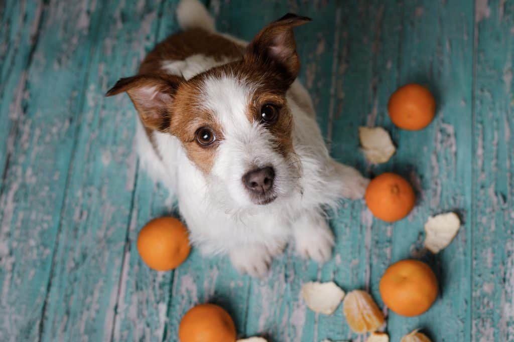 Can Dogs Eat Tangerines? Are Tangerines Safe for Dogs? 1