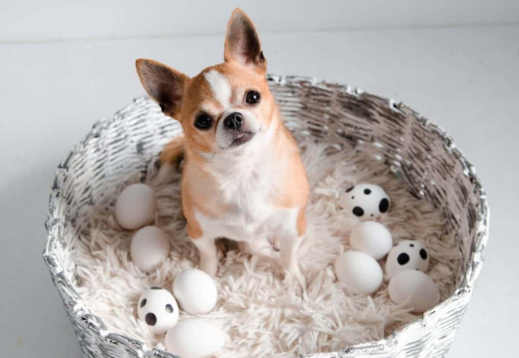 Can Dogs Eat Egg Shells? Are Egg Shells Safe For Dogs? 4