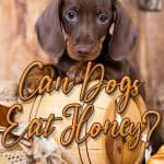 Can Dogs Eat Honey? How Much Honey Can You Give Your Dog?