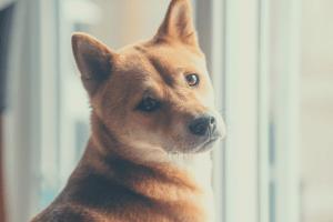 best dog food for Akitas