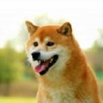 柴犬にオススメなプレミアムドッグフードを無料でお試しする方法