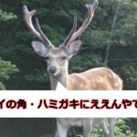 鹿の角・ハミガキ
