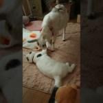 もしかして兄弟!?猫とヤギが仲良しな動画