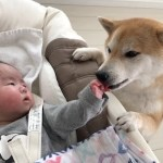 赤ちゃんをあやそうと奮闘する柴犬ちゃんがかわいい