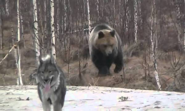 野性の巨大熊にタイマンで立ち向かう勇者!シベリアンハスキー君