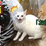 子猫ちゃんが初めて他の猫ちゃんを見てびっくりする動画