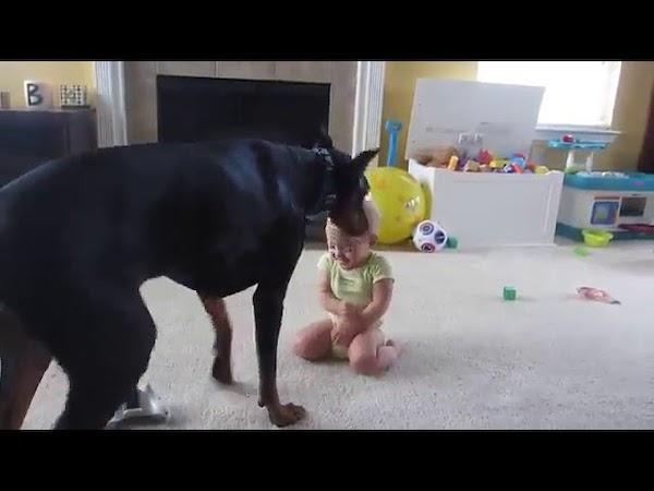 【おもしろ犬動画】赤ちゃんをあやすドーベルマン!見ているだけで幸せ♪