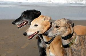 greyhounds