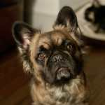 What Is A Fluffy Frenchie Dog Friendly Travel