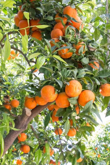 Naranjos.