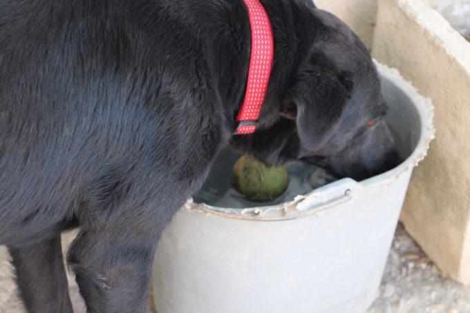 Luciendo bonito collar, esta perra vive un momento de máxima felicidad, agua fresca, pelota y humanos dándole mimos.