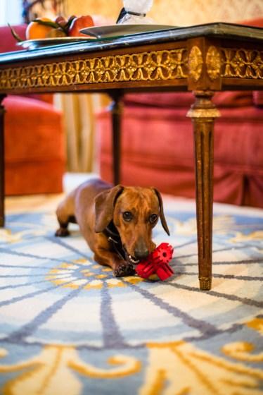 Eros jugando con su KONG sobre las maravillosas alfombras del RITZ.