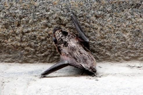 22 especies de murciélagos están protegidas en Viena.