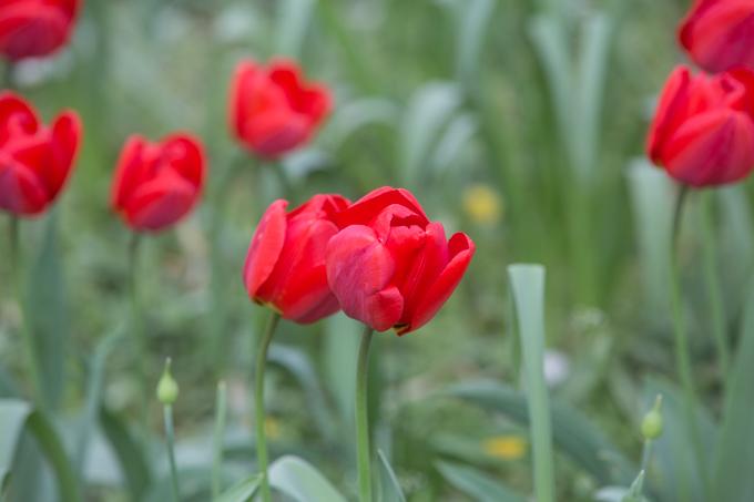 Tulipanes en el parque.