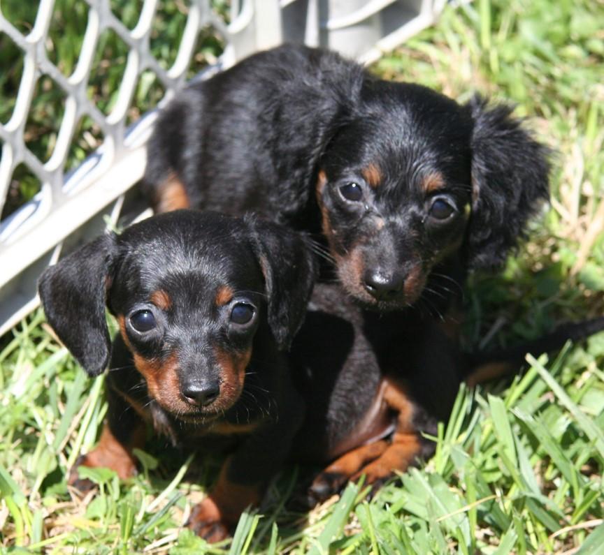 Black Dachshund Pups
