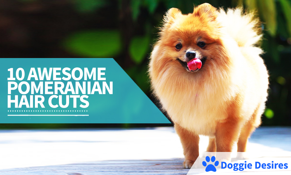 10 Pomeranian Hair Cut Ideas