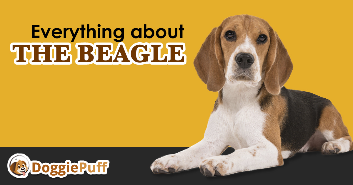 Everything About The Beagle