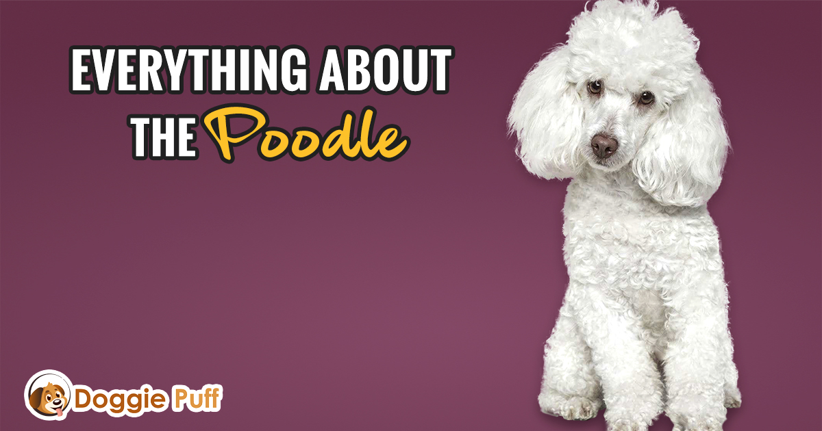 Everything about the Poodle Dog