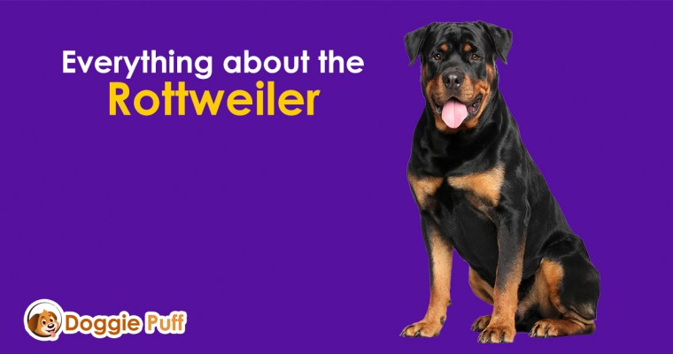 Everything about the Rottweiler