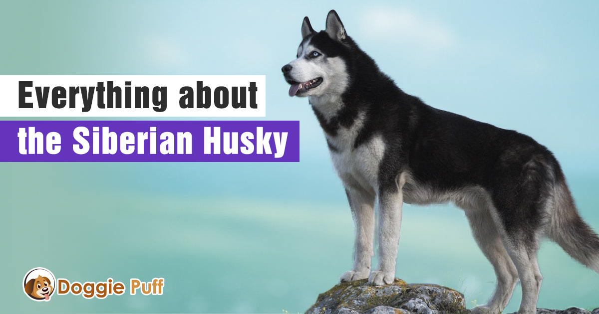Everything about the Siberian Husky