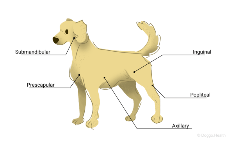 dog lymph nodes jaw shoulders armpits knees