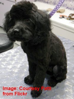 A poodle groomed (Acknowledgements to Patti)
