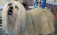 "A ""Dougal"" dog - Old English Sheepdog image."