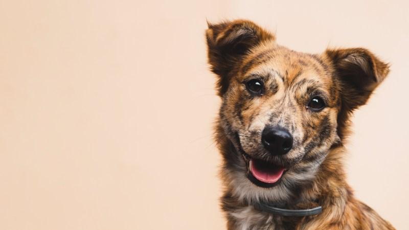 perro de raza y criollo