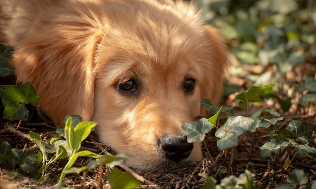 Traveling With Your Golden Retriever