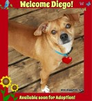 Diego is a (Save Me Rescue) Adoptable Pear-Head Chihuahua He's 2 years old, neutered and UTD on vaccines. Diego is good with other dogs with proper introduction and would be fine with a dog-savvy cat in the home. Visit Save Me Rescue for an Adoption Application at http://www.savemedogrescue.ca/