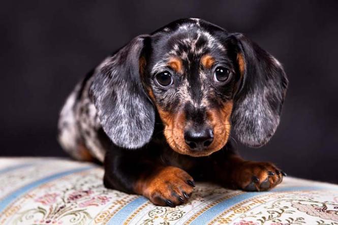 Dachshund Dog Breed Information