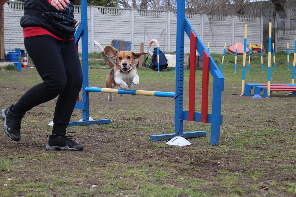agility-beagle-przeszkoda