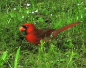 Male Cardinal, in Red of course!