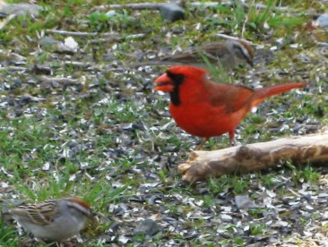 One Cardinal, and two little backyard beauties!