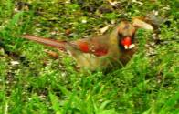 The beautiful Northern Cardinal visits the backyard.