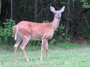 Deer in Doughton Park Recreation Area, NC