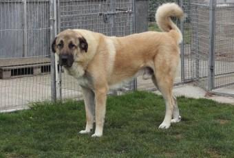 Anatolian Shepherd Dog Photos & Info