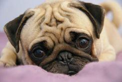 Pug Dog Breed Info & Photos