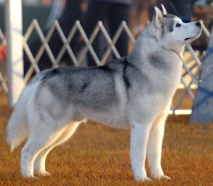 Huskies  - dangerous dog breeds