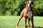 Boxer Dog Pics