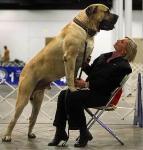 Mastiff Dog Photos:English mastiff