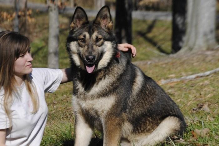 Tamaskan Wolf Dog