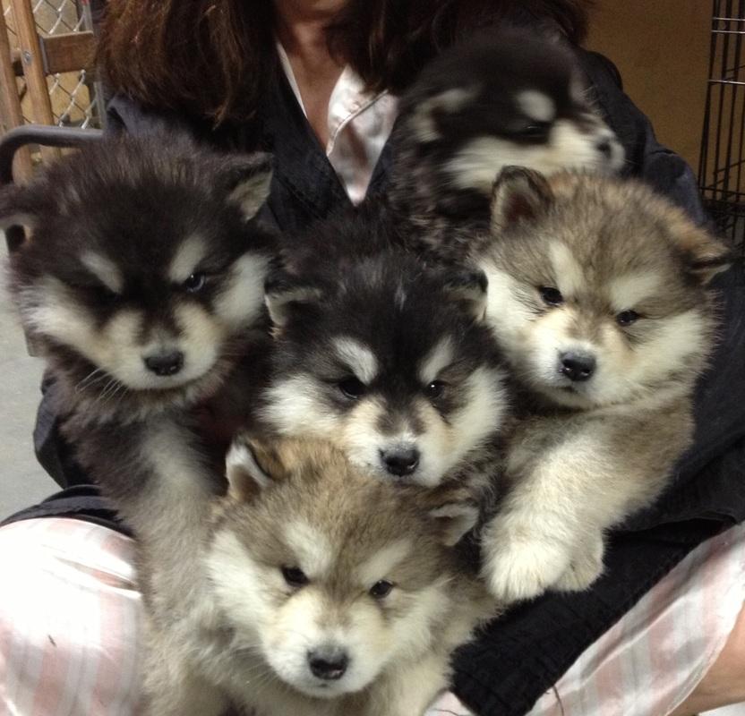 Alaskan Malamute Puppies Doglers