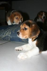 American Fox Hound Puppies #1