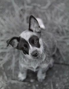 Australian Cattlte Dog Puppy Image