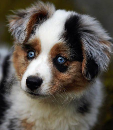 Australian Shepherd Puppy With Attractive Eyes on 02 Cavalier Blue