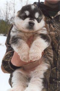Cute Alaskan Malamute